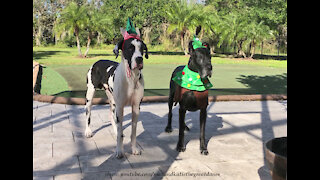 Florida Great Danes Look Great Dressed As A Christmas Tree And An Elf
