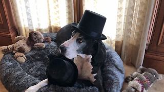 Funny Great Dane Carries and Opens Box of Hats  - Video