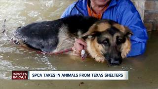 SPCA Serving Erie County is Taking in Animals From Texas Shelters - Video