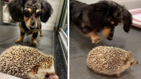 Frank the Wiener dog curiously meets new hedgehog brother