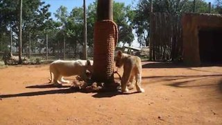 Adorable Lion Cubs Destroy Their Scratching Post in Record Time - Video