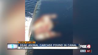 Decapitated animal found in Cape Coral canal - Video