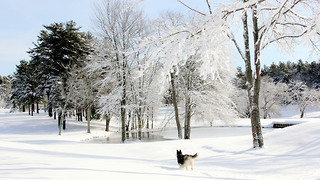 Winter wonderland is paradise for Siberian Husky - Video