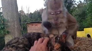 This Monkey Shows Everyone How to Groom a Cat - Video