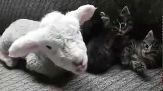 Baby Lamb Relaxes With Kittens - Video