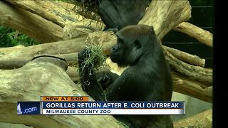 Gorillas return to enclosure after E. coli outbreak