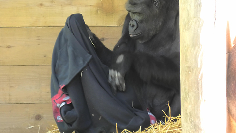 Gorilla Tries To Figure Out How To Wear T-Shirt