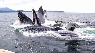 Whale-y good! Tourist captures amazing moment four whales appear to bubble net feed