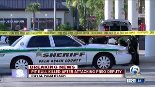 Pit bull killed after attacking deputy in Royal Palm Beach - Video