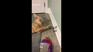 Golden Retriever puppy goes crazy over door stop