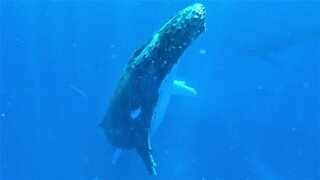Beautiful humpback whale sings as he surfaces beside swimmers