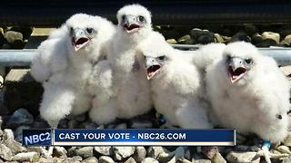 Cast your vote to name UWGB's peregrine falcons - Video