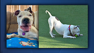 Cleveland APL Pet of the Weekend: Ladybird, a 10-year-old pit mix