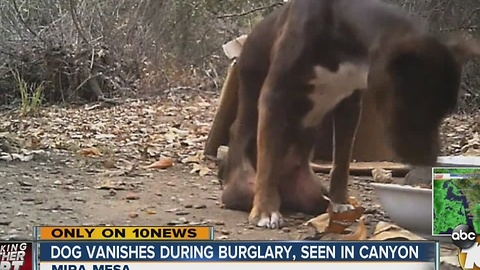Dog vanishes during burglary, spotted in canyon weeks later