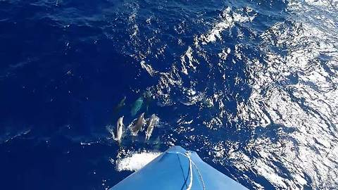 Dolphin pod play while leading massive ship