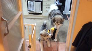Husky Mama Plays Tug Of War With Her Puppy