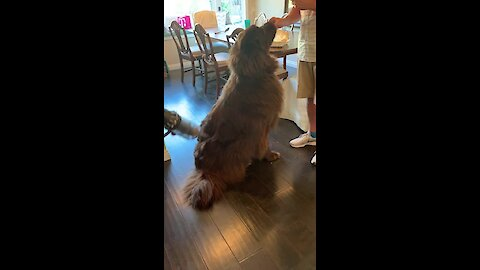Carefree Newfoundland doesn't mind being vacuumed