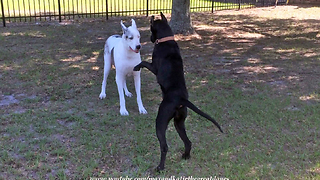 Puppy Has Difficulties Convincing Senior Great Dane To Play - Video