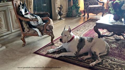 Yawning Great Danes Enjoy a Lazy Afternoon Together