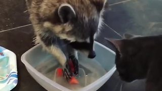 Cat Isn't Very Happy As Raccoon Washes Food In Its Water Bowl - Video