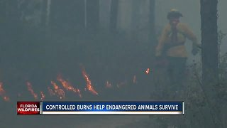 Controlled burns helping people and endangered animals survive