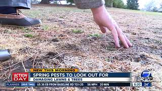 Spring pests to look out for in trees and lawns - Video