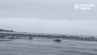 Huge Pod of Dolphins Spotted Near Pacific Grove, California