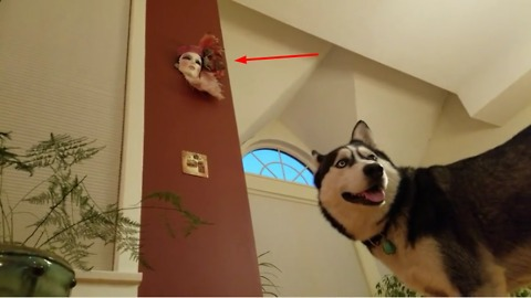 Siberian Husky weirdly intimidated by Venetian mask