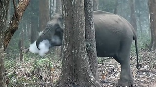 The Smoking Elephant Caught on Camera.!! - Video