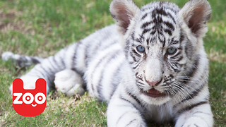 Rare White Bengal Tiger - Video