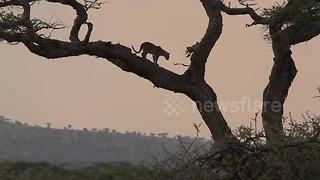 Leopard cub falls out of tree - Video