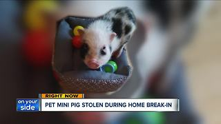 Pet mini-pig stolen during break-in at home on Cleveland's west side - Video