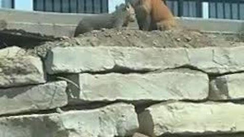 Girl watches mama fox and her babies from car