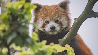 Chester Zoo Welcomes 1-Year-Old Endangered Red Panda - Video