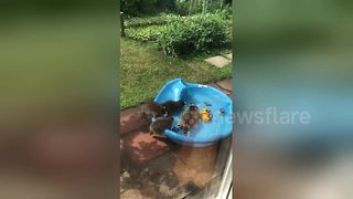 Mama raccoon and her babies cool off in paddling pool