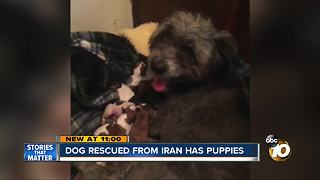 Dog rescued from Iran has litter of puppies - Video