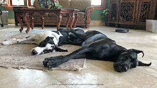 Affectionate Great Danes Love To Snuggle