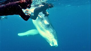 Baby humpback whale has beautiful interaction with swimmers