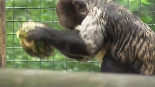 Capuchin Monkey Finds Clever Way to Eat Pineapples - Video