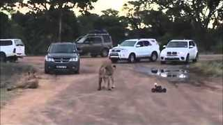 Tourists Provoke Lions with Remote Control Car - Video