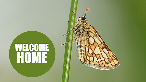 A once-extinct butterfly has been reintroduced to England