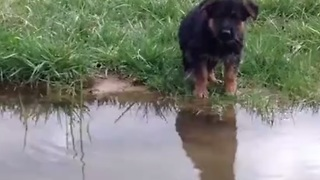 German Shepherd puppy's first swim is the cutest sight ever