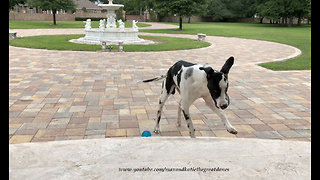 Happy Clumsy Great Dane Dane Loves to Play Ball