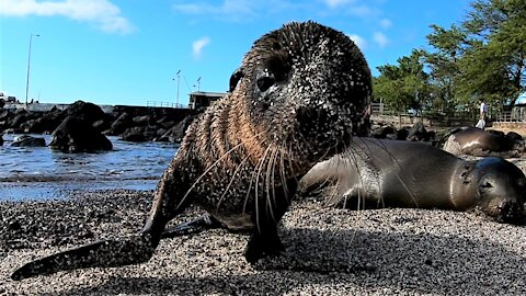 Sea lion baby can't resist closely investigating the camera on his beach