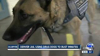 Denver Jail using drug dogs to bust inmates - Video