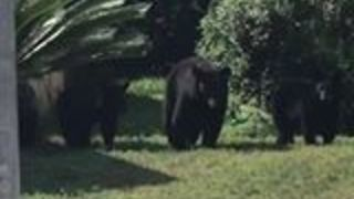 Family of Bears Take a Stroll Down Street in Suburban Florida Neighborhood - Video