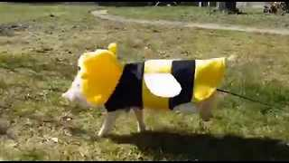 Adorable Piglet Dressed as Bumblebee - Video
