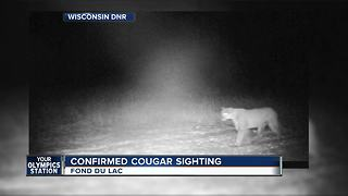 Cougar spotted on trail camera in Fond du Lac County - Video