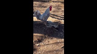Rooster screaming!