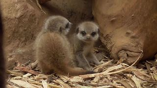 Baby Meerkat Cuteness Overload  - Video